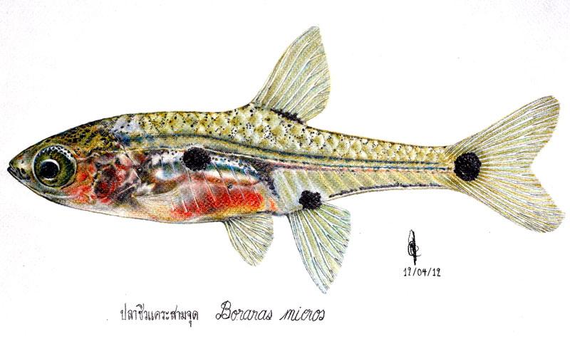ปลาซิวสามจุด | กลุ่มอนุรักษ์ความหลากหลายทางชีวภาพและ ...