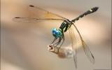 Odonata Order