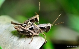 Orthoptera Order
