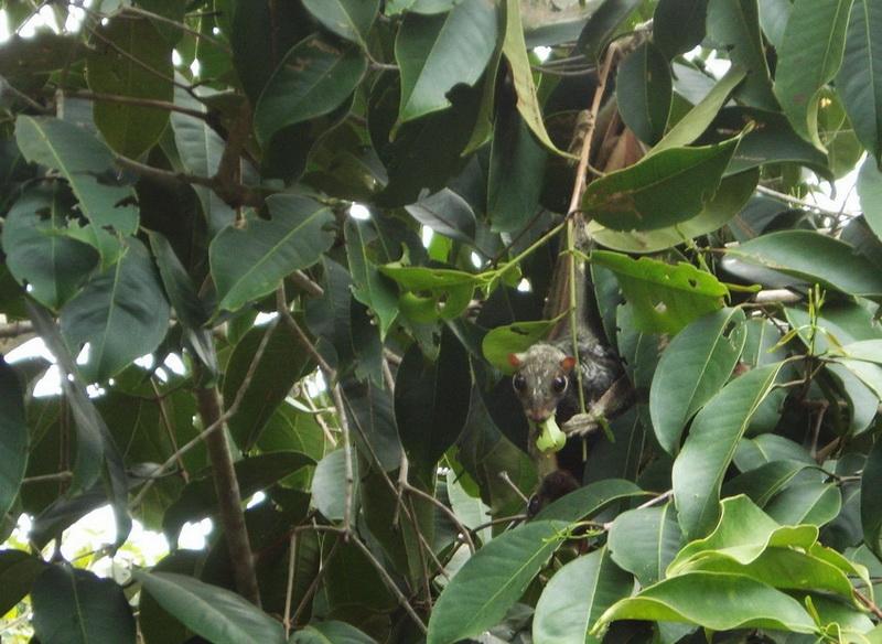 -_sunda_flying_lemur_-_galeopterus_variegatus.jpg