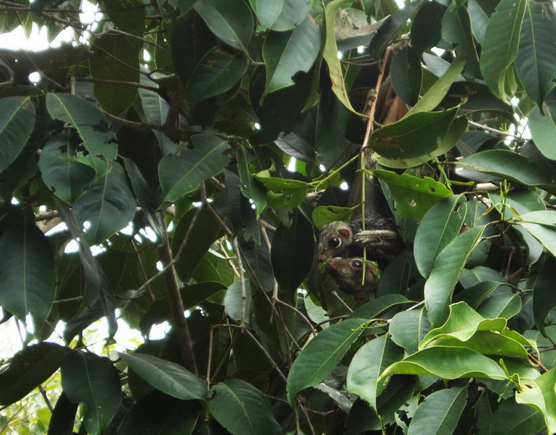 -sunda_flying_lemur_galeopterus_variegatus.jpg