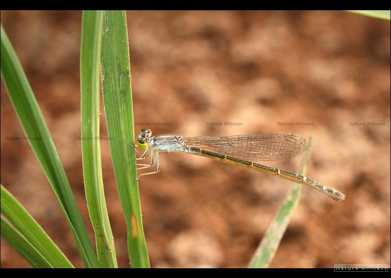 แมลงปอเข็มนาส้มวงฟ้า Ischnura aurora