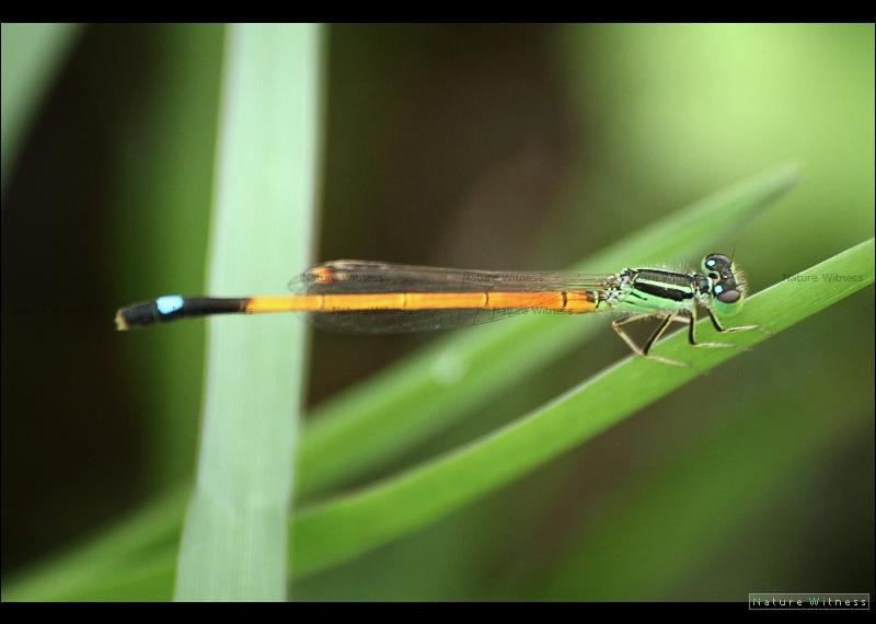 แมลงปอเข็มนาส้มจุดฟ้า