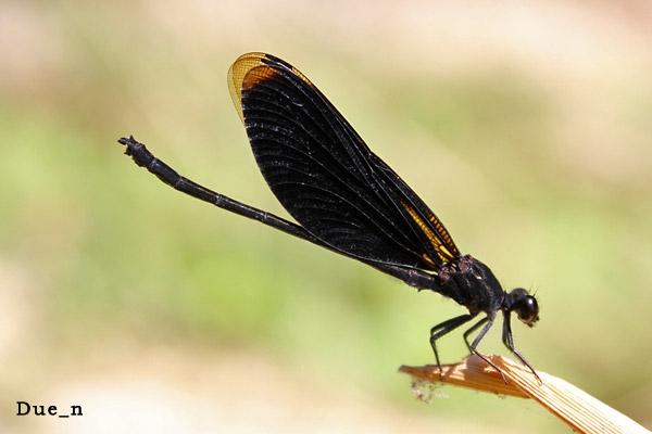 แมลงปอเข็มน้ำตกผู้ดำ Euphaea masoni
