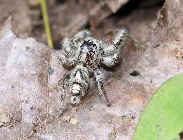 น่าจะพวกแมงมุมกระโดด แต่ตัวใหญ่มากครับ เกือบ 3 cm