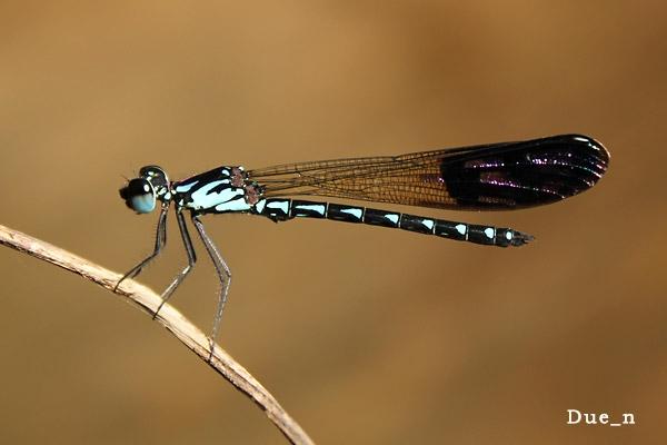 แมลงปอเข็มน้ำตกสั้นลายจุด Heliocypha perforata