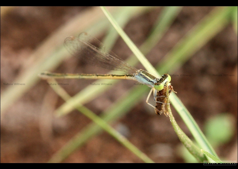 แมลงปอเข็มนาส้มวงฟ้า Ischnura aurora ?