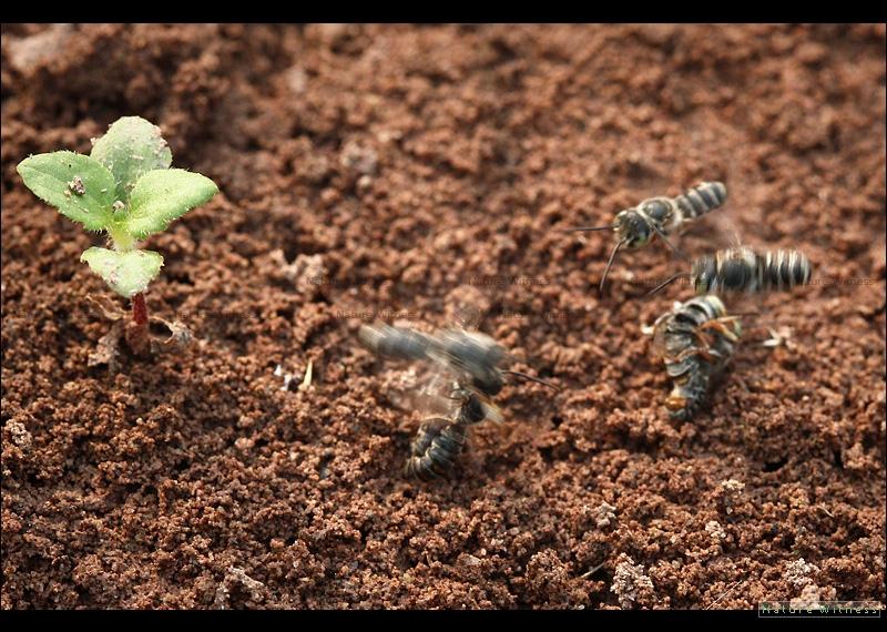 ฝูงผึ้งที่เหมือนจะตีกันไม่ก็ผสมพันธุ์กัน