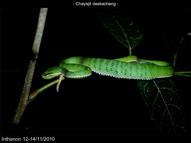 P. popeiorum ไม่รู้กินอะไรมา นอนพุงกาง