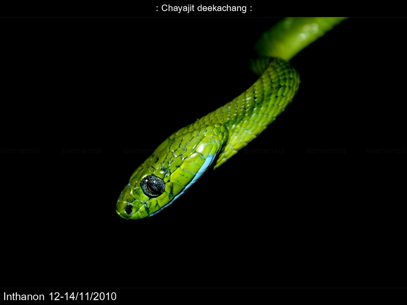 งูเขียวบอน (Boiga cyanea)
