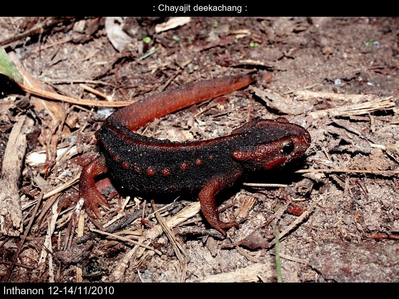 กระท่าง (Tylotriton verrucosus)