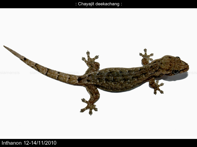 จิ้งจกแคระยูนนาน (Hemiphyllodactylus yunnanensis)