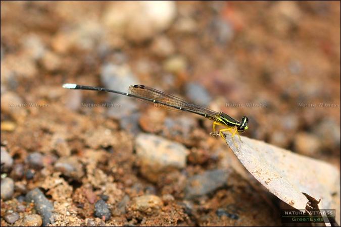 ตัวนี้คงจะเป็น Copera marginipes