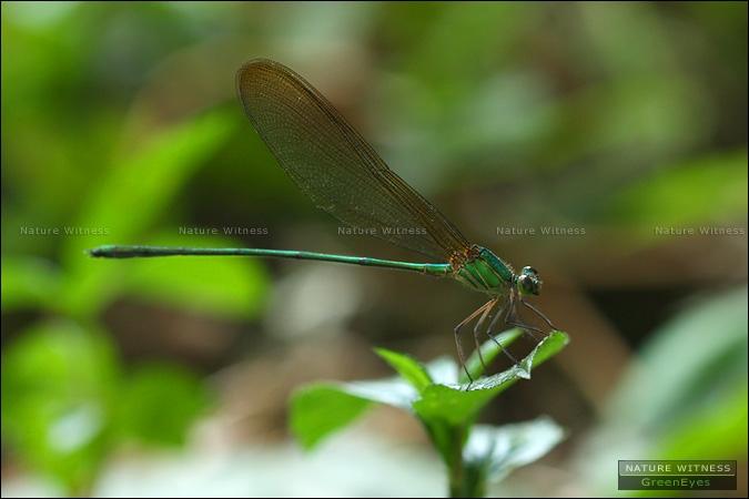 แมลงปอเข็มใหญ่ธรรมดา Vestalis gracilis