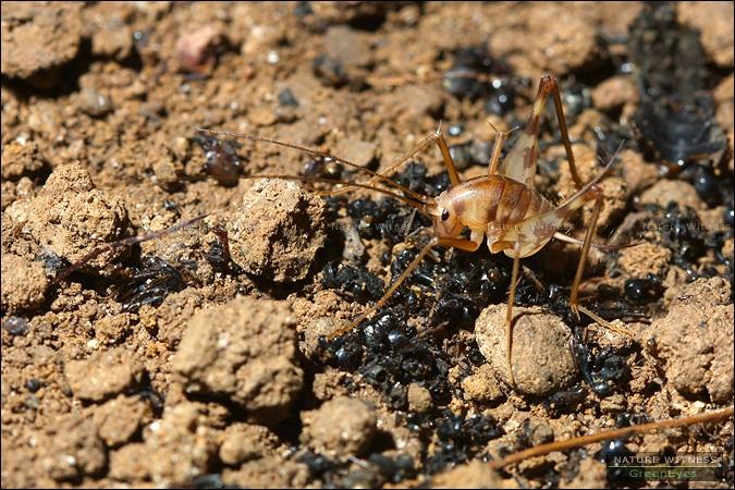 จิ้งหรีดถ้ำ กินอะไร ช่วยดูกันหน่อยครับ ผมว่าดูเหมือนขี้กบ เป็นพวกเศษซากแมลง