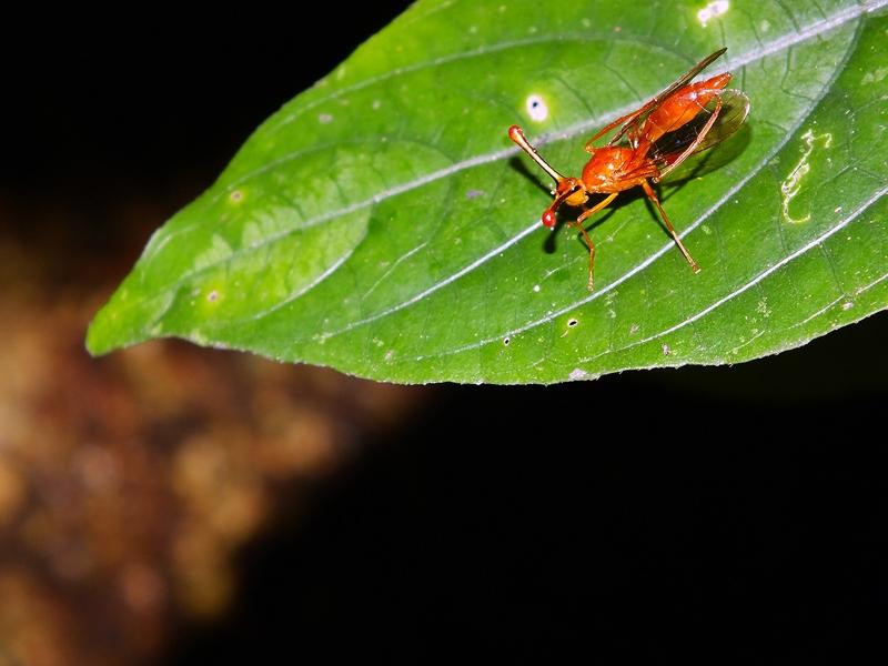 แมลงวันก้านตายาว ชนิด?