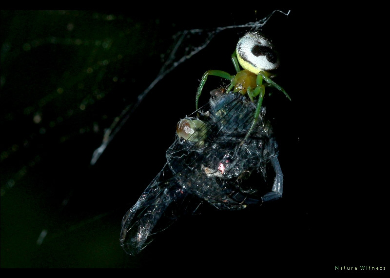 แมงมุมใยกลม Araneus mitificus