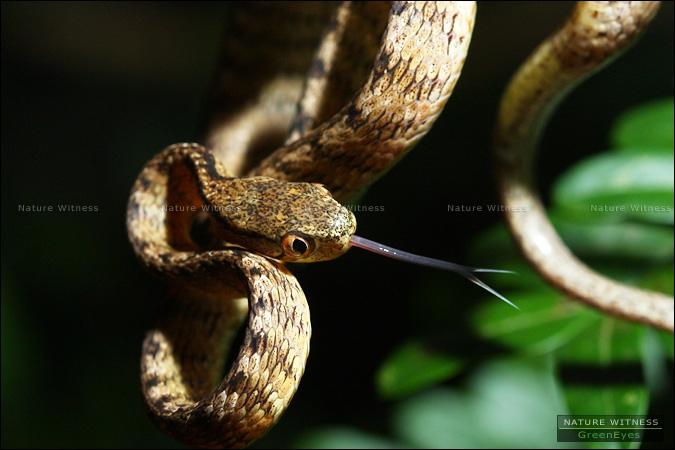 ... เอ่อ .. งูกินทากเกล็ดสัน (ลืมอะ)