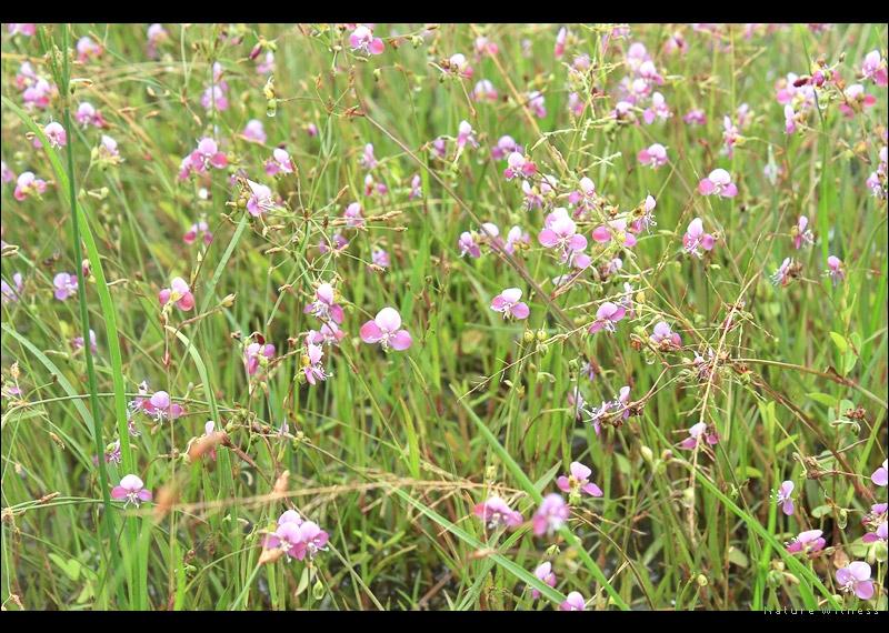 * ดอกหญ้า ที่ขึ้นทั่วไปในพื้นที่นี้
