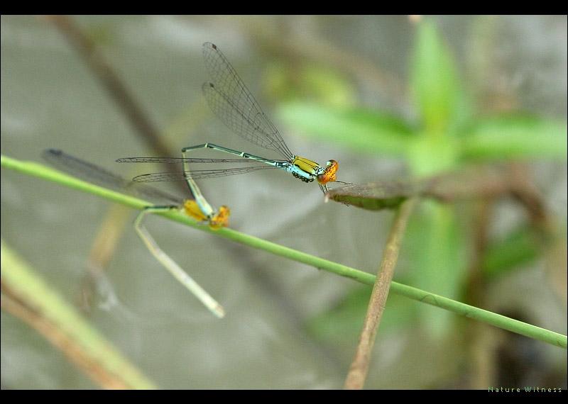 แมลงปอเข็มบ่อหน้าส้ม Pseudagrion rubriceps