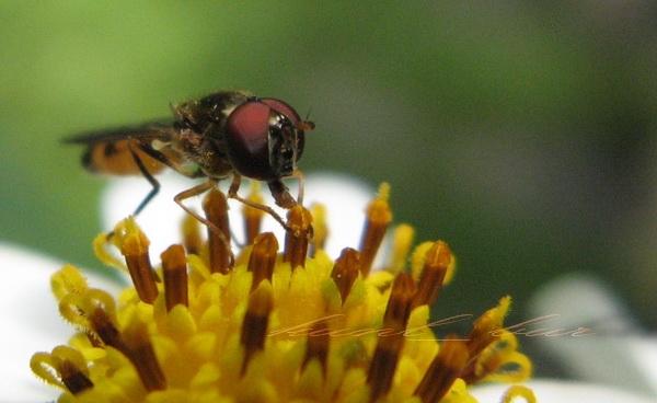 9.Serphid fly?.jpg