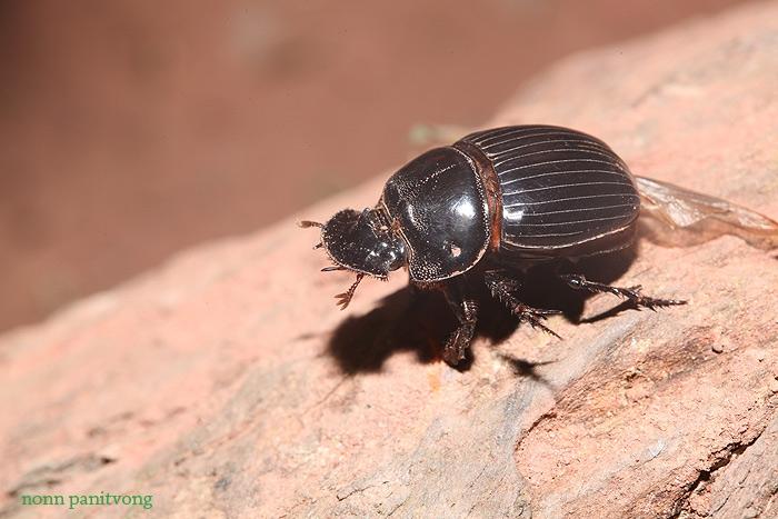 beetle_flathead.jpg