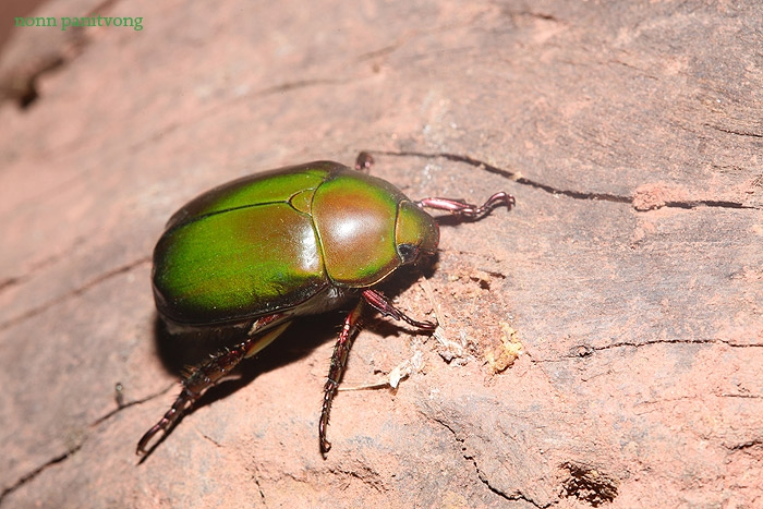แมงนูนเขียวแบบตัวใหญ่ เป็นอีกหนึ่งตัวเป้าหมายที่ชาวบ้านจับกิน