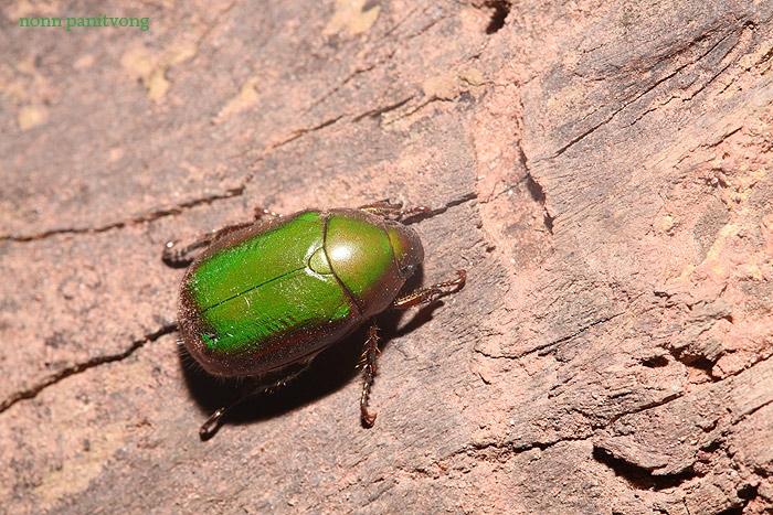 แมงนูนเขียวแบบตัวเล็ก