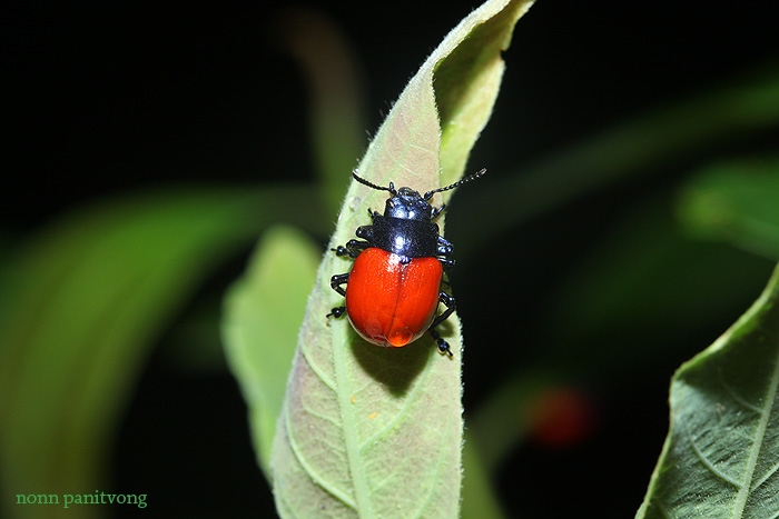 beetle_red.jpg