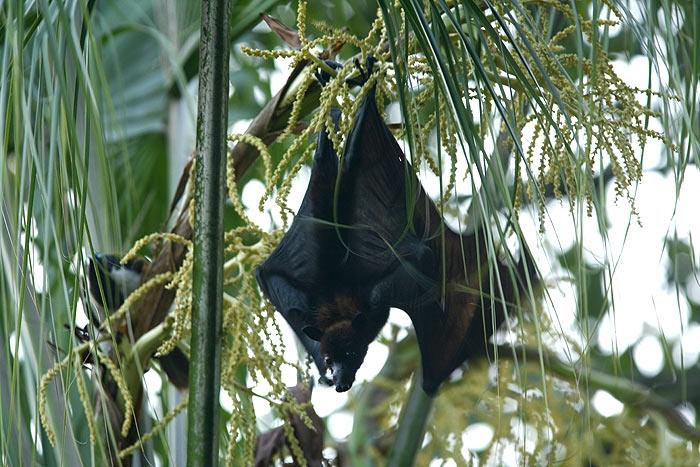 ที่ Brisbane เจออีกชนิด Black Flying-fox ( Pteropus alecto)