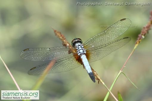 brachydiplax-c-chalybea-3.jpg