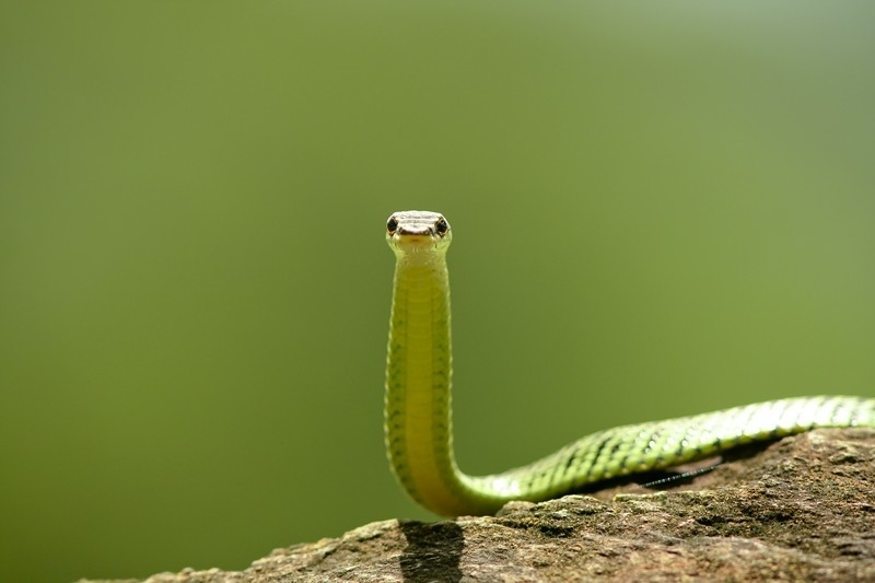 กรรมการ: ภาพนี้ได้ใจกรรมการตรงความเรียบง่ายและความน่ารักของงู แสงสีเขียวอ่อนๆของภาพอบอุ่นและเสริมให้ภาพของงูที่พบบ่อยชนิดนี้ดูดีมาก