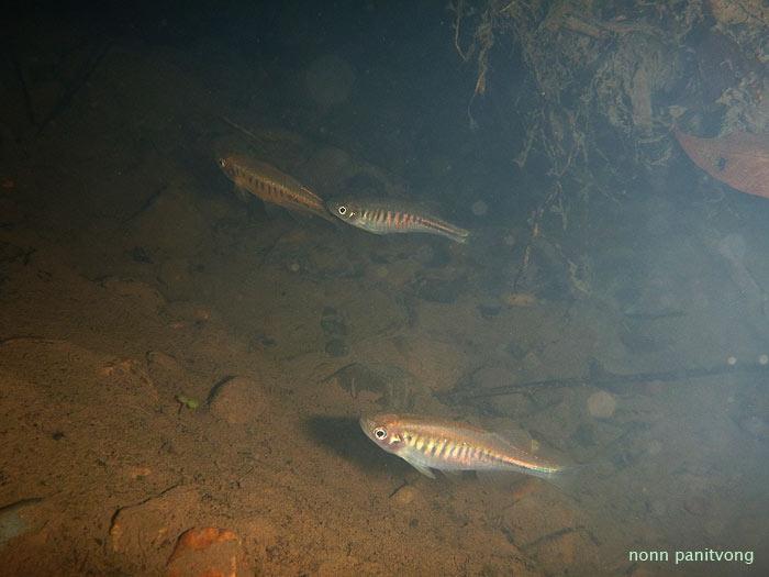 ซิวใบไผ่แม่แตง เป็นปลาเฉพาะถิ่นของลุ่มแม่ปิงตอนบนในแถบนี้