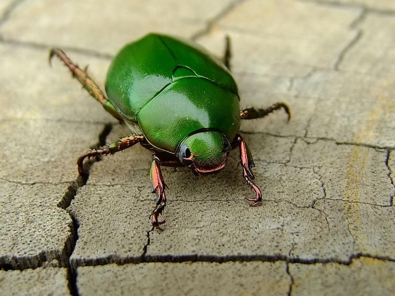 แมลงนูนเขียวธรรมดา Anomala grandis