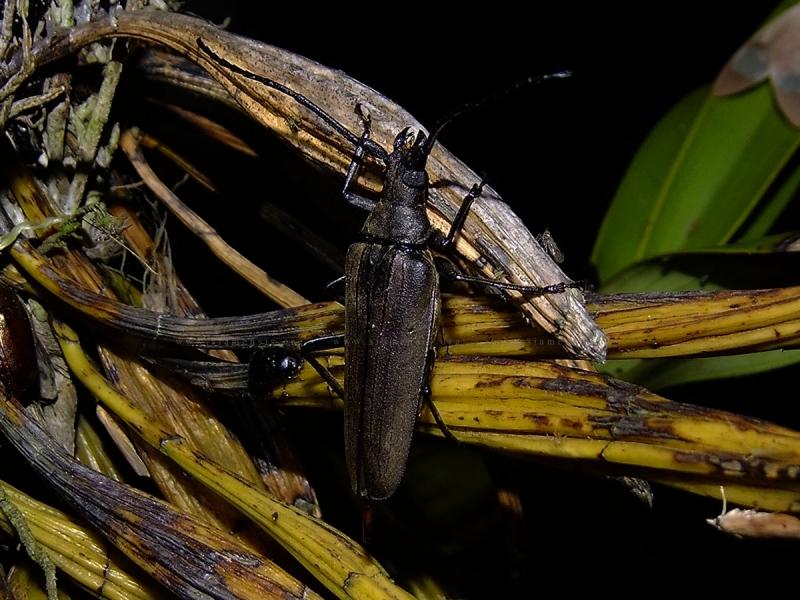 ด้วงหนวดยาวกลมสองเส้น Megopis sinica