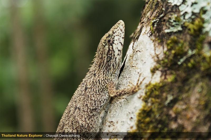 กิ้งก่าเขาสูง Pseudocalotes microlepis9.jpg