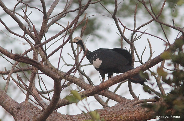Common Piping Guan (Pipile pipile)