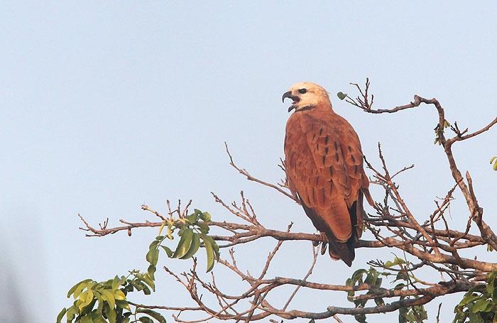 ฺBlack-collared Hawk (Busarellus nigricollis)