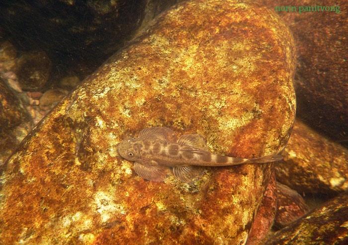 ปลาผีเสื้อน่าน Hemimyzon nanensis
