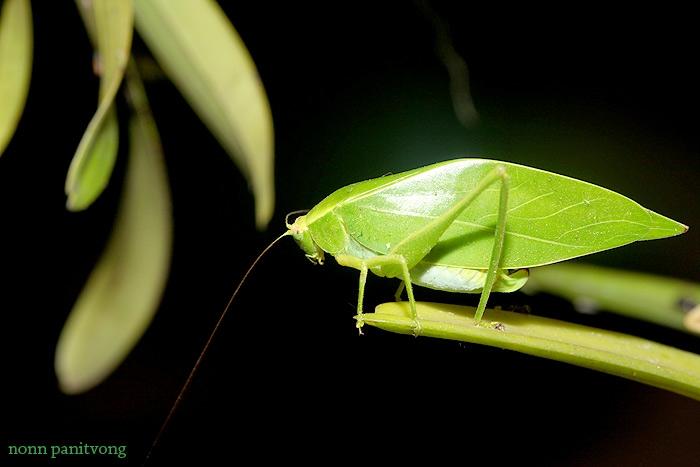 hopper_leaf.jpg
