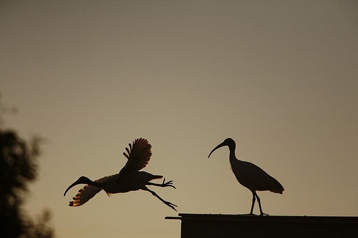 ibis1.jpg