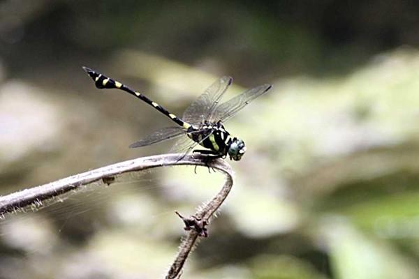 ictinogomphus_decoratus_melaenops.jpg