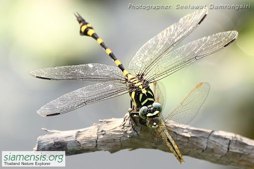 Ictinogomphus decoratus melaenops