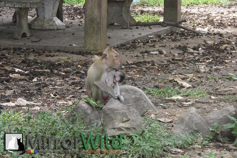Contact comfort, Clinging reflex, Suckling reflex Monkey