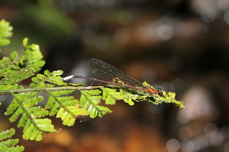 แมลงปอเข็มตาปีกสั้นอ่างกา ตัวผู้