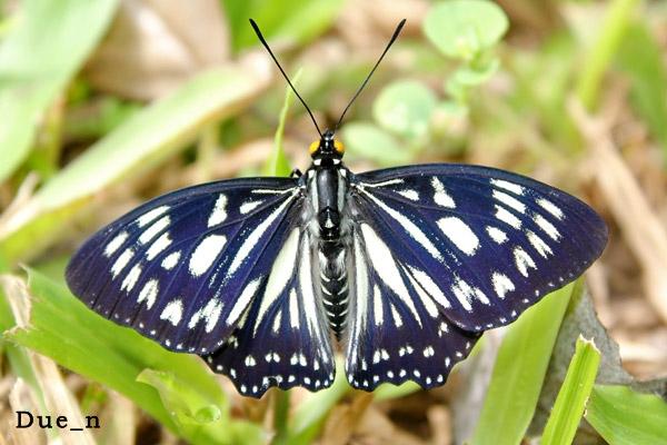 ผีเสื้อปีกเว้าธรรมดา Euripus nyctelius