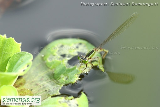 ischnura-senegalensis-1.jpg