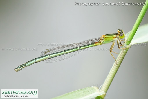 ischnura-senegalensis-3.jpg