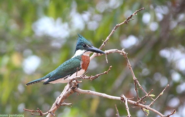 Amazon Kingfisher (Chloroceryle americana)