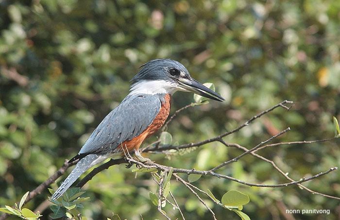 Ringed Kingfisher (Megaceryle torquata) ตัวผู้